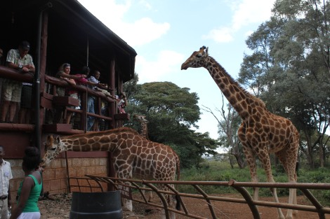 The Giraffe Center offers a similar experience at just $11!